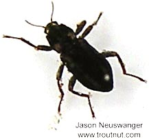 Coleoptera (Beetles) Beetle Adult from unknown in Wisconsin