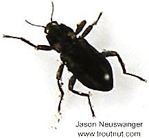 Coleoptera (Beetles) Insect Adult