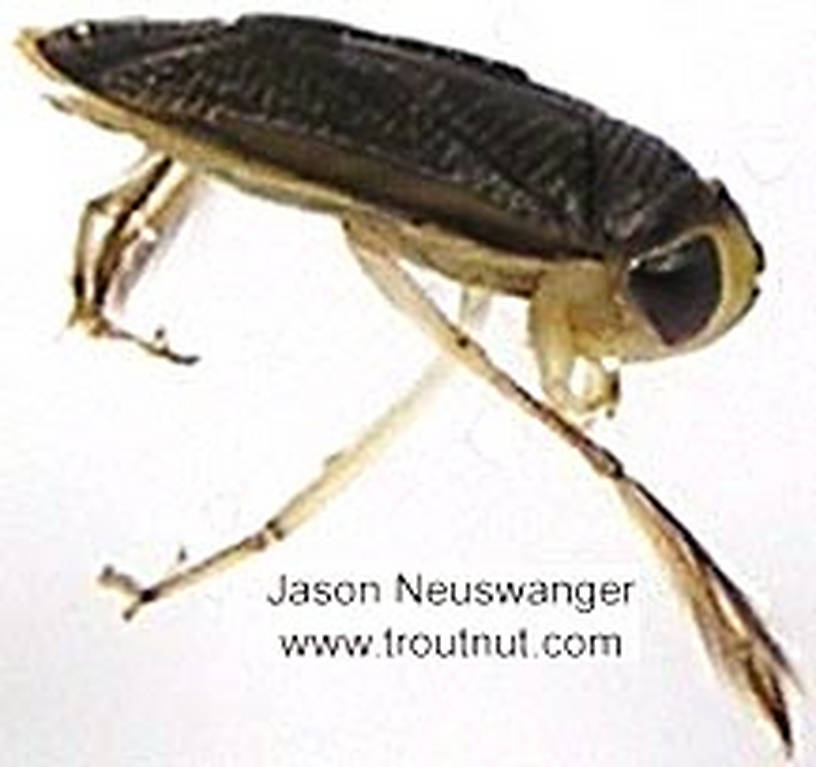 Corixidae (Water Boatmen) Water Boatman Adult from unknown in Wisconsin