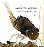 Baetisca (Armored Mayflies) Mayfly Nymph