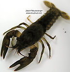 Cambaridae  Crayfish Adult