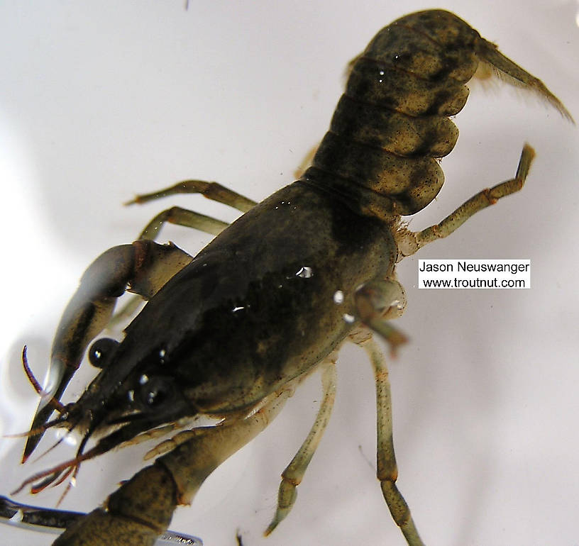 Cambaridae Crayfish Adult from unknown in Wisconsin