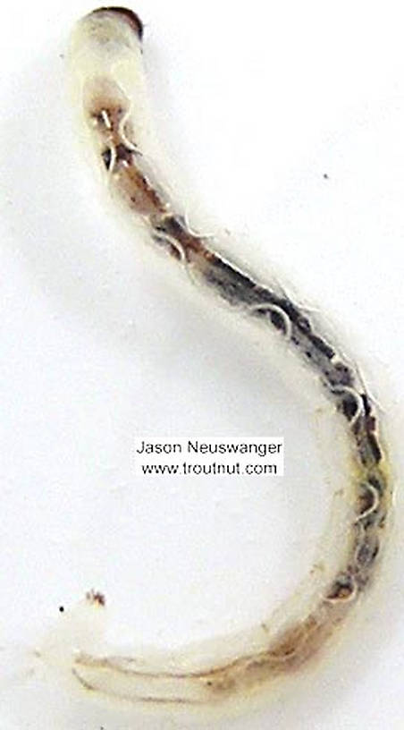 Chironomidae (Midges) Midge Larva from unknown in Wisconsin