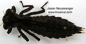 Aeshnidae  Dragonfly Nymph