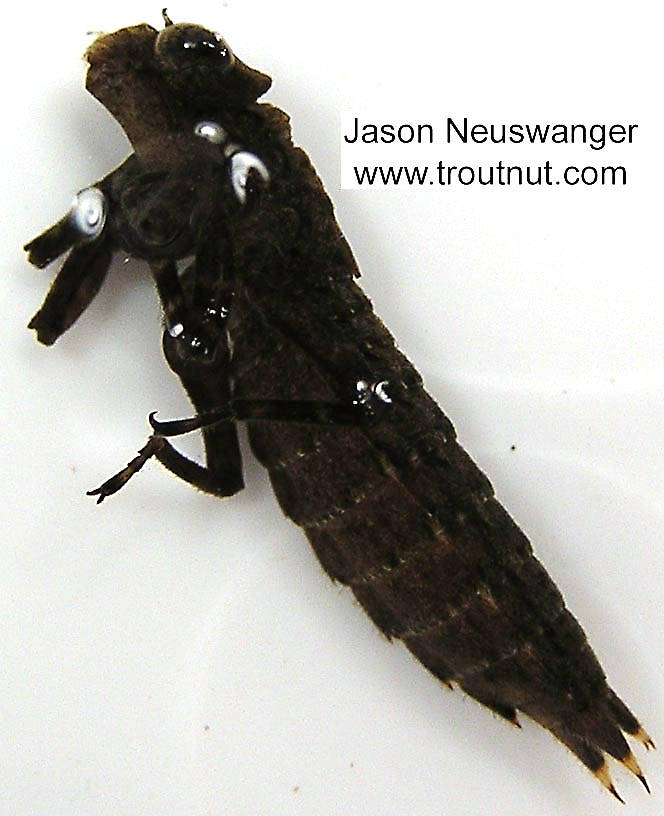 Aeshnidae Dragonfly Nymph from unknown in Wisconsin