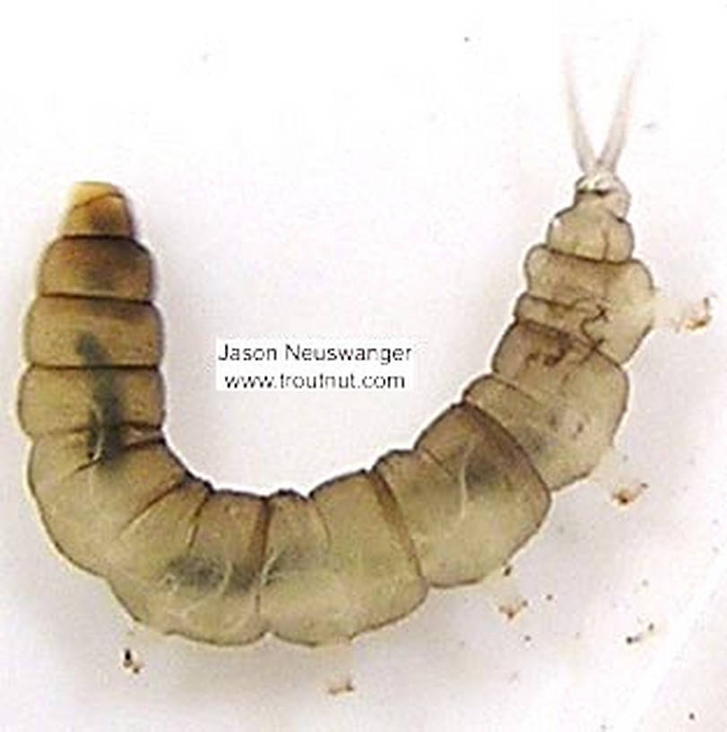 Dicranota True Fly Larva from unknown in Wisconsin