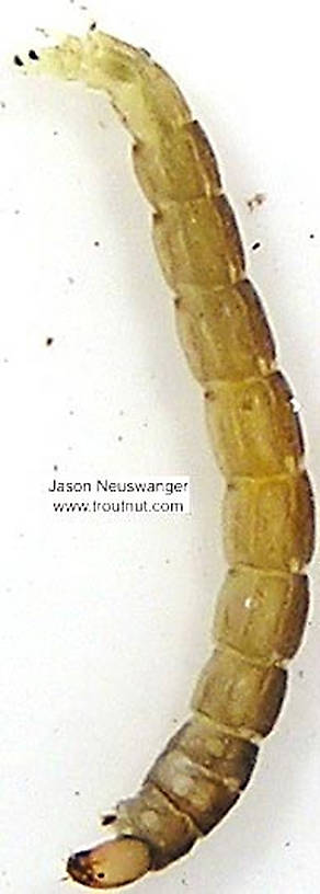 Chironomidae (Midges) Midge Larva from unknown in Wisconsin