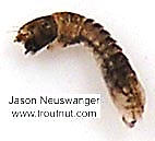 Simuliidae (Black Flies) True Fly Larva