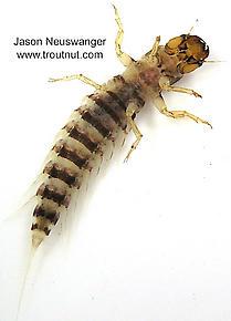 Sialis Alderfly Larva from unknown in Wisconsin