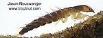 Sialis  Alderfly Larva