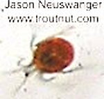 Acari (Mites) Arthropod Adult