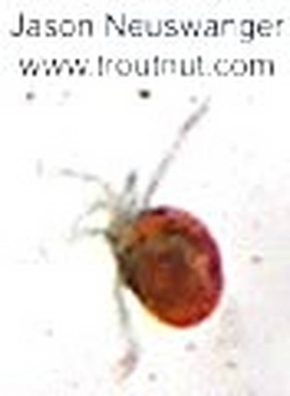 Acari (Mites) Mite Adult from unknown in Wisconsin