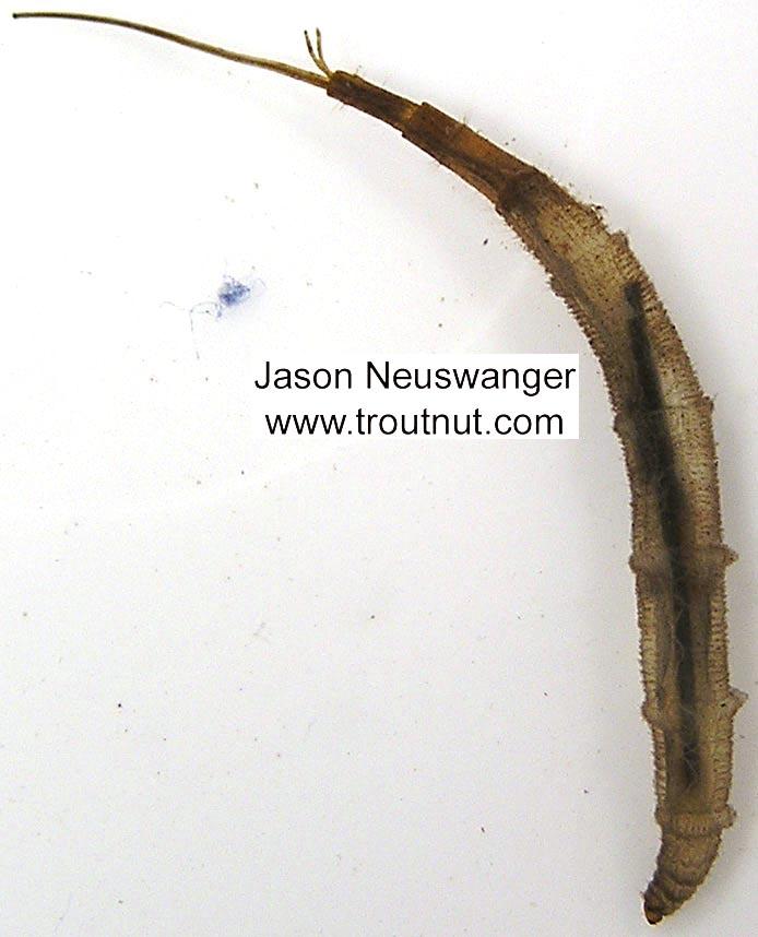 Ptychopteridae (Phantom Crane Flies) Phantom Crane Fly Larva from unknown in Wisconsin