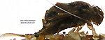 Baetisca laurentina (Armored Mayfly) Mayfly Nymph