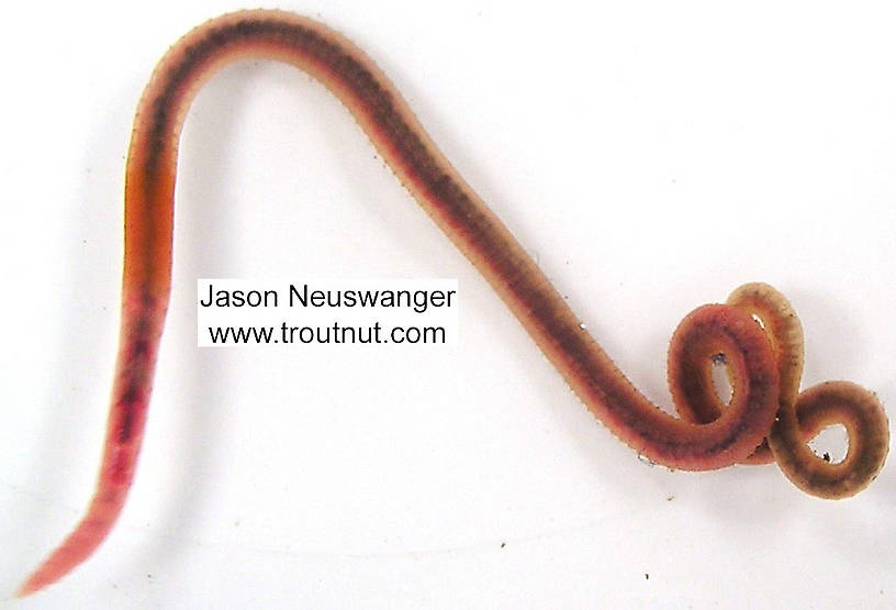 Clitelatta-Oligochaeta (Worms) Worm Adult from unknown in Wisconsin