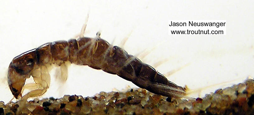 Sialis Alderfly Larva from unknown in Wisconsin