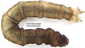 Tipulidae (Crane Flies) True Fly Larva