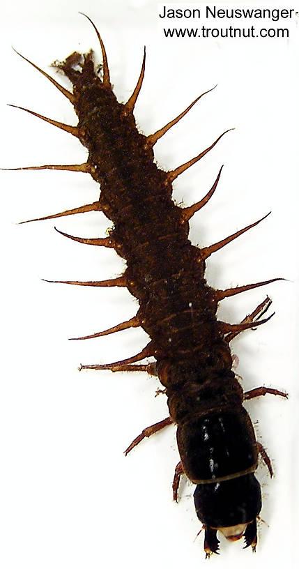 Corydalidae (Hellgrammites) Hellgrammite Larva from unknown in Wisconsin