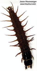 Corydalidae (Hellgrammites) Insect Larva