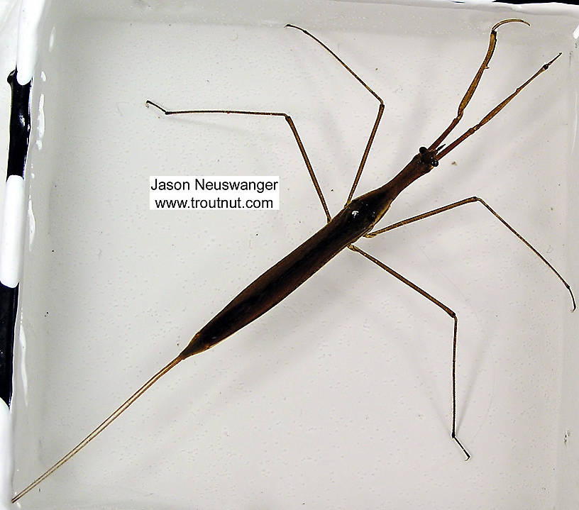 Ranatra Water Scorpion Adult from unknown in Wisconsin