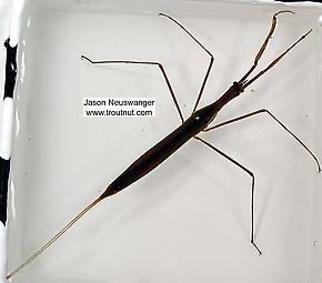 Ranatra  Water Scorpion Adult