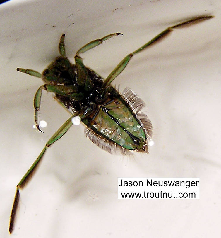 Notonectidae (Backswimmers) Backswimmer Adult from unknown in Wisconsin