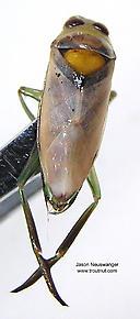 Notonectidae (Backswimmers) True Bug Adult