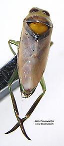 Notonectidae (Backswimmers) True Bug Adult