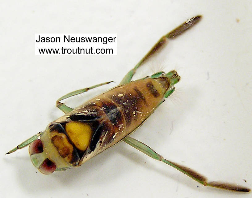 The specimen is right-side-up, but dead, in this picture.  The isopropyl alcohol I used to kill it also immediately discolored it.  Notonectidae (Backswimmers) Backswimmer Adult from unknown in Wisconsin