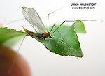 Tipulidae (Crane Flies) True Fly Adult