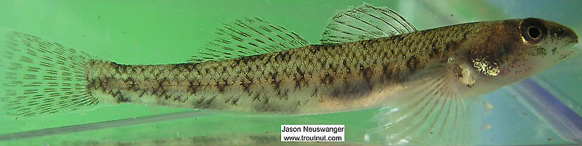 Percidae (Perch, Walleyes, and Darters) Fish Adult from the Namekagon River in Wisconsin
