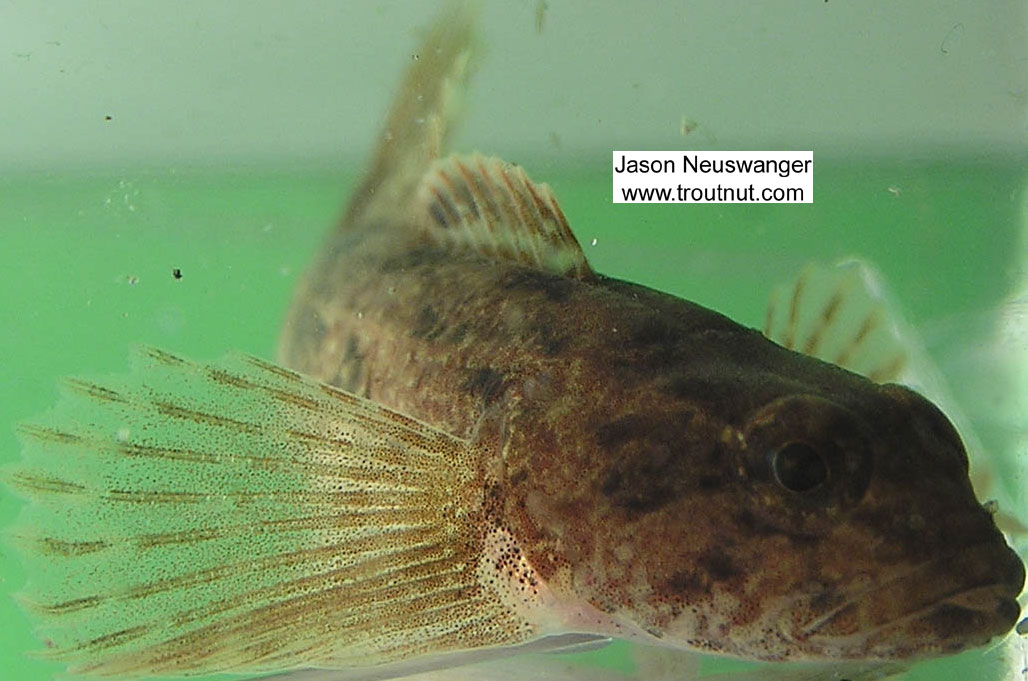 Cottidae (Sculpins) Sculpin Adult from the Namekagon River in Wisconsin