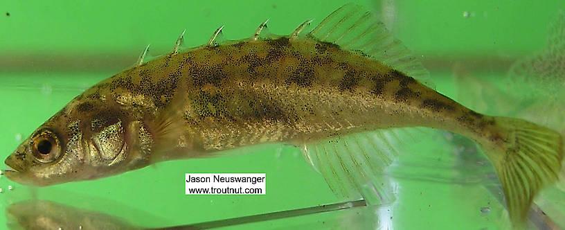 Gasterosteidae (Sticklebacks) Stickleback Adult from the Namekagon ...