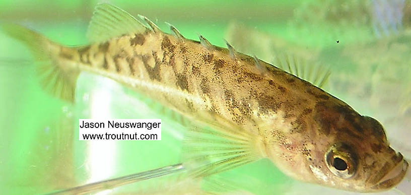 Gasterosteidae (Sticklebacks) Stickleback Adult from the Namekagon River in Wisconsin