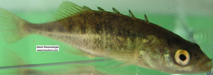 Gasterosteidae (Sticklebacks) Stickleback Adult from the Namekagon River in Wisconsin