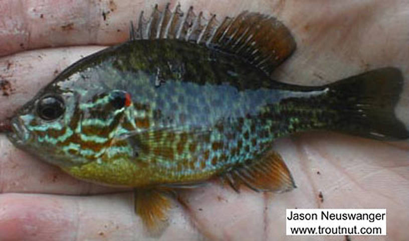 Centrarchidae (Sunfish and Bass) Fish Adult from the Marengo River in Wisconsin