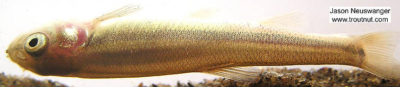 Cyprinidae (Minnows) Minnow Adult from unknown in Wisconsin
