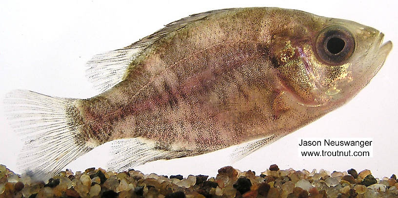 Centrarchidae (Sunfish and Bass) Fish Adult from unknown in Wisconsin