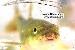 Cyprinidae (Minnows) Fish Adult