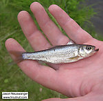 Cyprinidae (Minnows) Fish Adult