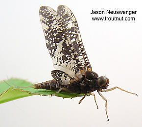 Male Baetisca laurentina (Armored Mayfly) Mayfly Dun