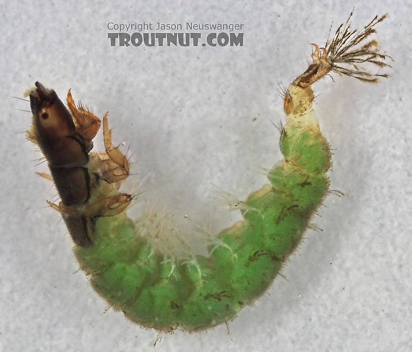 Hydropsychidae Caddisfly Larva from Cascadilla Creek in New York