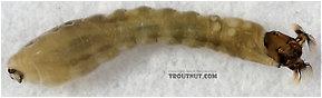 Simuliidae (Black Flies) True Fly Larva
