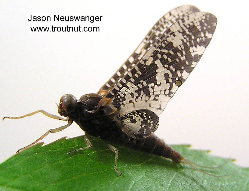 Male Baetisca laurentina (Armored Mayfly) Mayfly Dun from the Namekagon River in Wisconsin