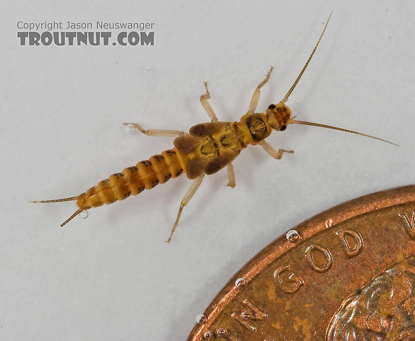 Capniidae (Snowflies) Stonefly Nymph from Cascadilla Creek in New York