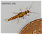 Capniidae (Snowflies) Stonefly Nymph