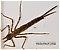 Calopteryx  Damselfly Nymph