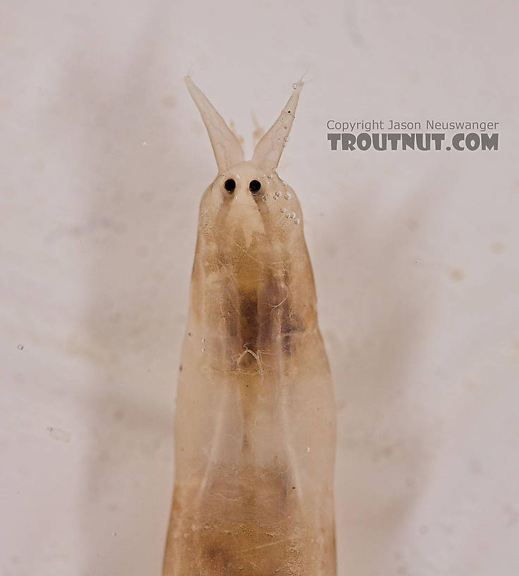 Pedicia albivitta (Giant Eastern Crane Fly) True Fly Larva from Fall Creek in New York
