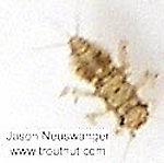 Caenis (Angler's Curses) Mayfly Nymph