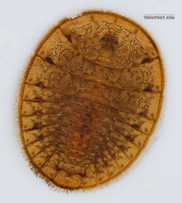 Psephenus (Water Pennies) Beetle Larva from Fall Creek in New York
